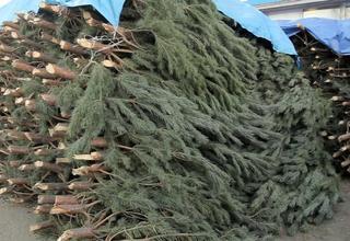 В этом году новороссийцы могут в последний раз купить, срубленную живую елку на Новый год.